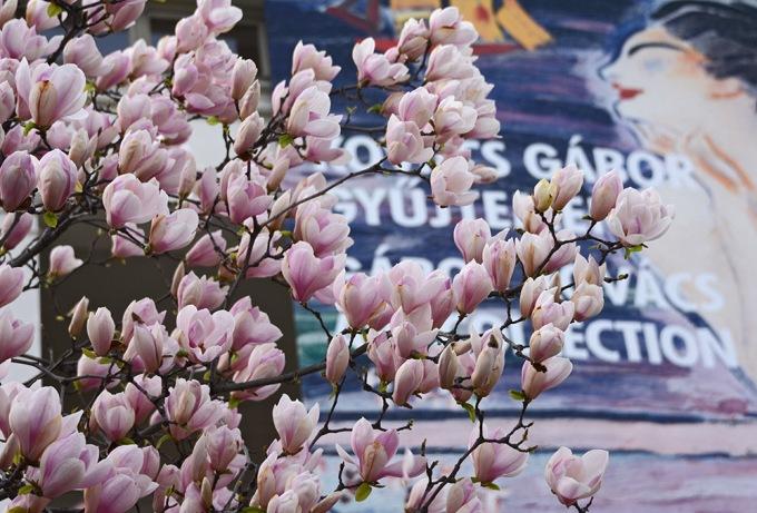 Kogart magnolias