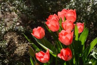 Tulip transparence