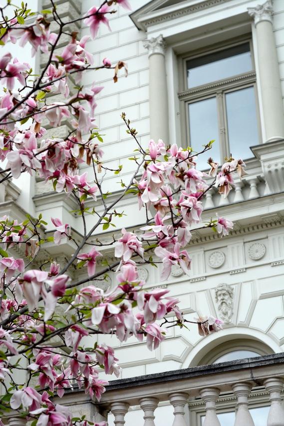 The famous Kogart magnolia tree