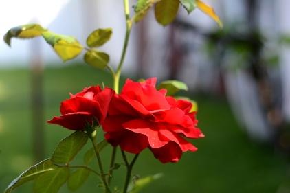Roses of Arad