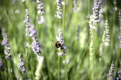 Bee feasting on lavender in the Eger Fortress