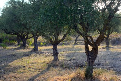 Olive trees in Vasilikos