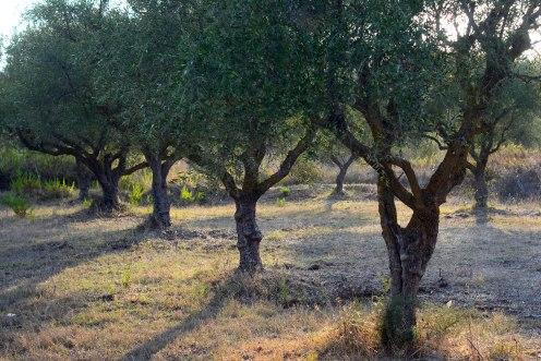 Olive trees in Vasilikos