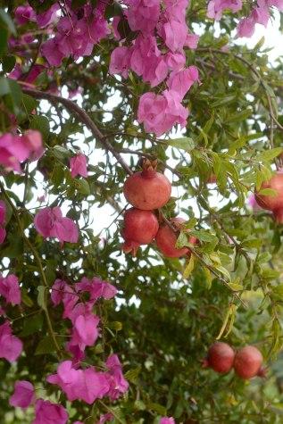 Pomegranates and bougainvillea Vasilikos