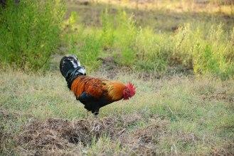Zakynthian rooster
