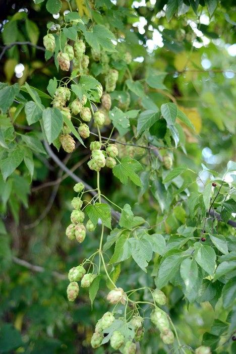 Etyek- we did find some hops too