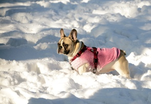 Winter at Normafa- dapper pug in action