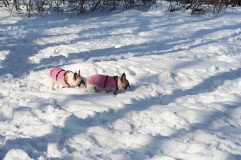 Winter at Normafa- dapper pugs