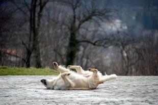 Brașov- Dog enjoying the sunshine at the Citadel