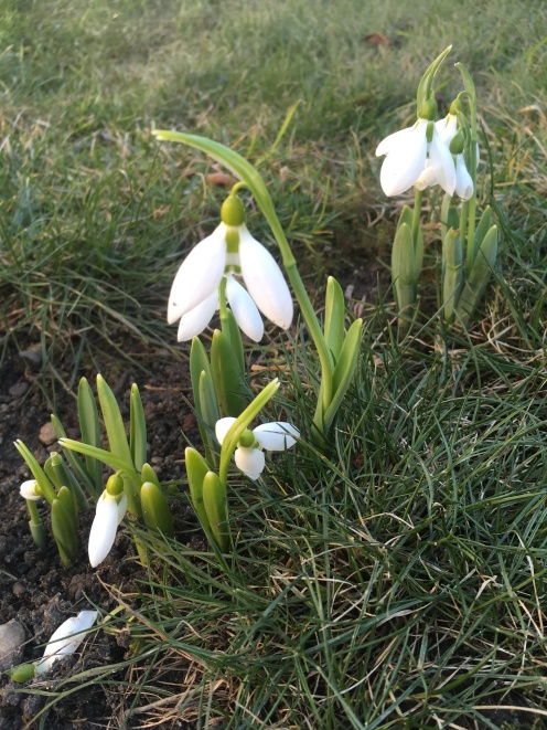 Snowdrops in our garden.