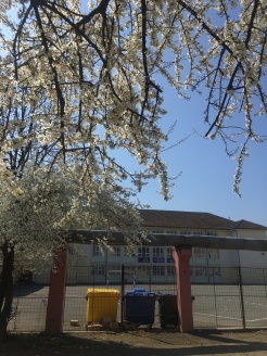 Arad in bloom (+my school and selective garbage collection for good measure)
