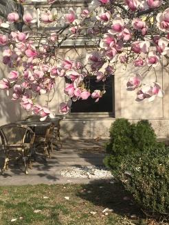 The Kogart magnolia