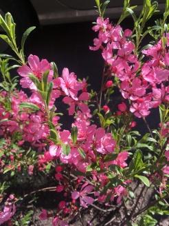 Blooming trees on the körút