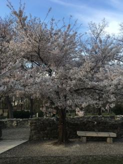 Blooming tree on Margaret Island