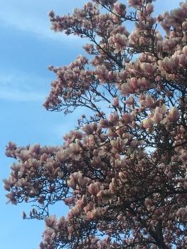 Magnolias on Margaret Island