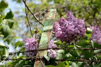 Lilac at Normafa