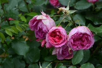 Mostar roses