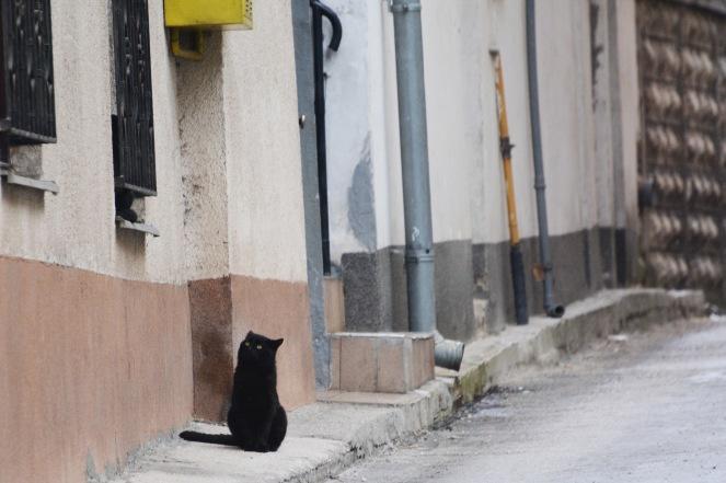 Sarajevan cat