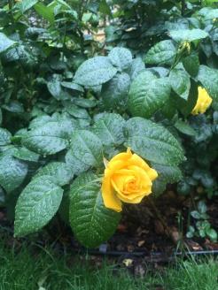 Rainy roses