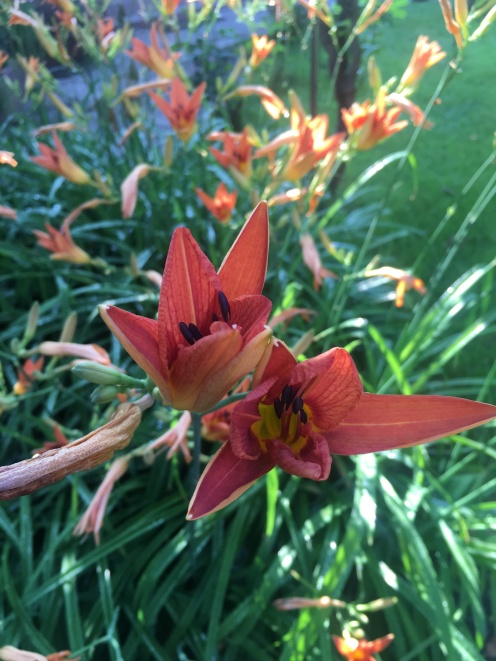 Tiger lilies in our garden