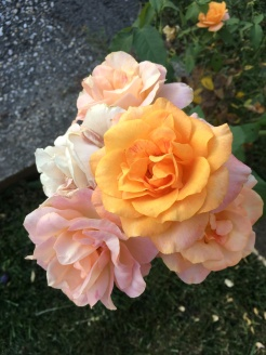 Roses in my neighbourhood