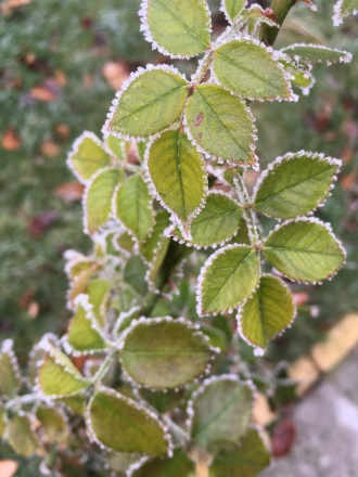 Rose bushes braving winter