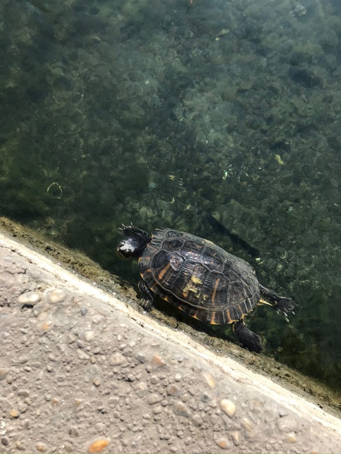 Turtle in Városliget
