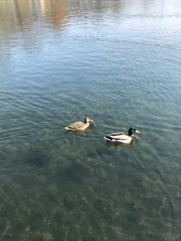 Ducks in Városliget