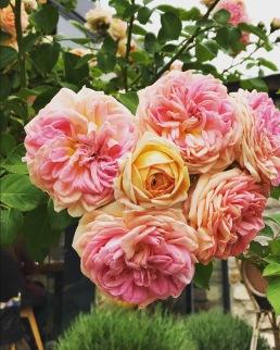 Roses of Buda
